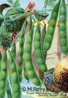 Vintage D.M. Ferry seed packet art with string beans