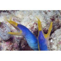 Indonesia Blue Ribbon Eel Pair (Rhinomuraena Quaesita) Head Peeks From Coral Canvas Art - Dave Fleetham Design Pics (18 x 12)