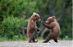 Black bear cubs - Bing Images