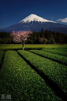Sakura and Shizuoka Green Tea - Shizuoka accounts for 45% of Japan¬タルs overall tea production, and the prefecture is at the leading-edge of research on the benefits that can be obtained from green tea.