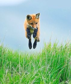 Stock Photo : Red fox, Vulpes vulpes, pup playing and jumping in tall grass on the Saskatchewan prairies in Canada Fantastic Fox, Fabulous Fox, Animals And Pets, Baby Animals, Cute Animals, Wild Animals, Beautiful Creatures, Animals Beautiful, Fox Pups