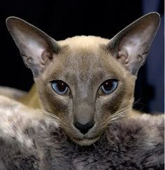 """* * ORIENTAL SHORTHAIR: """" Yoo willz meets a Siam charmer. Yoo wills bear him six kittens. yer career be about to takes off. Pretty Cats, Beautiful Cats, Animals Beautiful, Cute Animals, Pretty Kitty, Cute Cats And Kittens, Cool Cats, Kittens Cutest, Funny Kittens"""