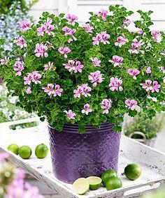 Lemon Geranium 'Queen of Lemon'   Plants from Bakker Spalding Garden Company