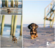 :: oscar | folly beach pet session ::