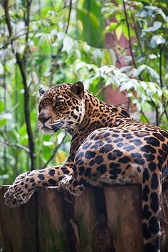 earthlynation:  jaguar (by chris dangtran)