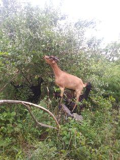 Giraffe, Goats, Animals, Food, Animales, Felt Giraffe, Meal, Animaux, Essen