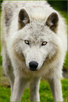 Zenix's wolf form