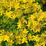 MILLEPERTUIS PERFORE AB Plants, Nutrition, Gardens, Yellow Flowers, Perennial Plant, Grasses, Planters, Plant, Planting