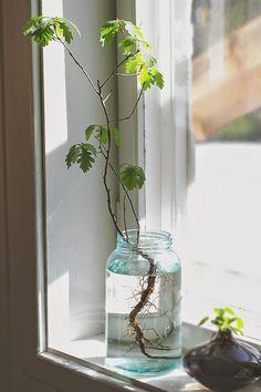 Little oak tree in a jar.  anmagritt.no