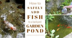 Garden ponds 567735096779359106 - These step-by-step instructions show how to safely add fish to your backyard pond to ensure a healthy transition. Includes koi, goldfish, and other popular species. Patio Pond, Ponds Backyard, Backyard Landscaping, Diy Pond, Garden Ponds, Indoor Pond, Indoor Water Garden, Big Leaf Plants, Small Water Gardens