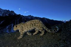 Snow leopard in the Indian Himalayas