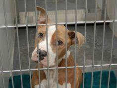 URGENT! ID#2014-01-064 male PitX 5+ years friendly  WINDER, GA Barrow County Animal Control Shelter  616 Barrow Park Drive Winder, GA 30680  Department Contacts: (770) 307-3012 Phone (they will not return long distance calls)  (770) 867-1660 Fax  Kimberly Perez – kperez@barrowga.org Danyal Harper – dharper@barrowga.org https://www.facebook.com/photo.php?fbid=639156266147573&set=a.405052182891317.92896.366722686724267&type=3&theater