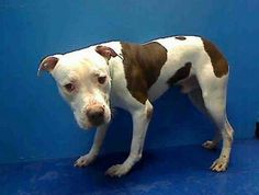 Brooklyn NY.  Gianni.  Male.  11 mths.  Dies in a.m.  See Pets on Death Row- Urgent Death on fb.***RESCUED***