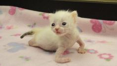 Kitten Born With Twisted Arms And Legs Finds A Mom Who Knows She's Perfect