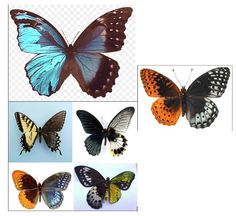 These butterflies have what is called bilateral gynandromorphism, each butterfly is half male and half female.