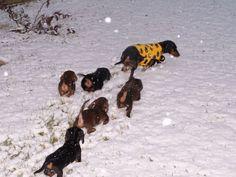 dachshund_snow