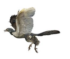 Time to get to know a dino! Meet Archaeopteryx lithographica. When Archaeopteryx was first described in 1861, it caused a sensation. With wings and feathers, it was considered the first bird. Today, scientists think Archaeopteryx wasn't able to fly...