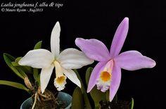 Laelia jongheana f. alba & tipo | Flickr - Photo Sharing!