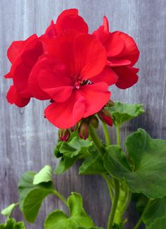 'Americana Dark Red' geranium