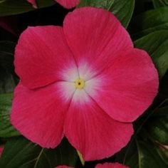 40 Vinca Strawberry Flower Seeds  Periwinkle  Annual *** Be sure to check out this awesome product.