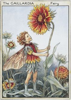 Illustration for the Gaillardia Fairy from Flower Fairies of the Garden. A boy fairy stands facing right gazing up at the fower head of a gaillardia. He holds the stem with both hands.    Author / Illustrator  Cicely Mary Barker
