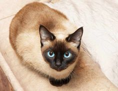 Siamese cat on couch