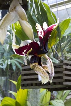 Orchids, Stanhopea tigrina, perhaps suitable for outdoors epiphytic culture in southern California with more shade and protection from drying.