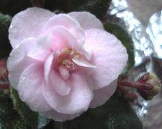 Teen Bride: An H. Pittman variety. Double pink. Dark green, plain, glossy. Semiminiature