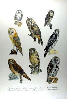Evropské ptactva (Europas Vögel), Tafelband (1871)