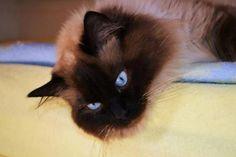Chovatelská stanice koček: Ragdoll - ORISTAR* CZ
