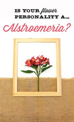 "Are you an Alstroemeria ""Astros""? Altros represent friendship, and that's exactly who you are: a good friend! You also manage to give situations a positive twist. Share with us your flower personality for a chance to win $100 VISA gift card."