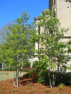green shadow sweetbay magnolia - Google Search