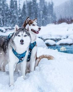 """3,560 Likes, 97 Comments - Husky Squad ™ (@huskysquad) on Instagram: """"Besties. Yuna and Kimahri marveling at the open space on this perfect day of thick snowflakes ❄️…"""""""