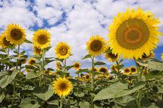 Teun's Tuinposters - Zonnebloemen op de voorgrond
