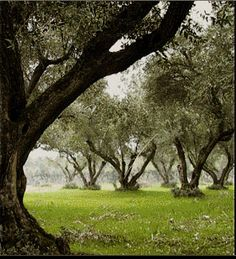 Olive groves close to home.