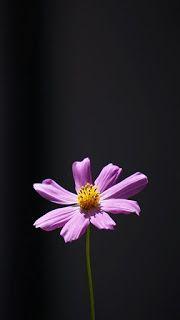 خلفيات ايفون ورد جميلة جدا Iphone Flower Background Minimalism Wallpaper Infinity Wallpaper