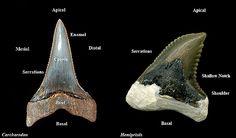 Shark Tooth Morphology