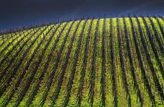 stormy vineyard.
