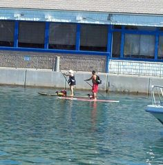 #Dachshunds paddleboarding