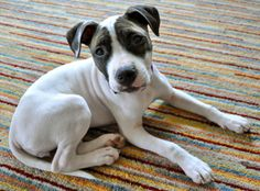 Betty NEW INFO is an adoptable Pit Bull Terrier Dog in Seattle, WA. Betty is in a foster home, and is currently not at the shelter. Please find instructions on how to adopt by clicking on 'Read More A...