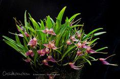 Masdevallia roseola