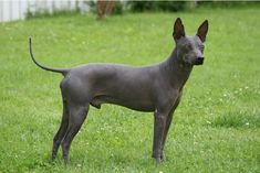 On January 1, 2004, the United Kennel Club (UKC) recognized the American Hairless Terrier as a distinct breed