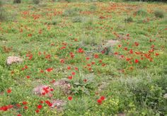 Calanit (Hebrew) = Anemone coronaria at Givat Hatermusim (Tel Socha in the Valley of Elah, Israel)