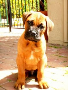 Bullmastiff puppy, I want one! All Dogs, Best Dogs, Dogs And Puppies, Doggies, Bullmastiff, Dog Pictures, Animal Pictures, Animals Beautiful, Cute Animals