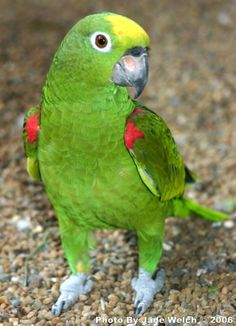 Yellow-Crown Amazon Parrot. Meet Cisco. Amazons are smart birds. Cisco is not messy, does not throw food and potty trained herself. She only potties in her cage. Related to the Double Yellow Head Amazon but are a little smaller and calmer/less aggressive than the larger Double Yellow Headed, Yellow Napes, etc can be. Amazons are very expressive and easy to read if you pay attention. Awesome birds and pretty to boot.
