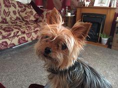 """This is my God-send Alfie love him so much!"" - Patricia Haine  Tag a Dog Lover 🐾 <3  #Yorkie #Yorkies #YorkieLover #LoveYorkies #YorkieLife #YorkshireTerrier #YorkshireTerrierLover #LoveYorkshireTerrier #pet #dog #puppy #PinoyYorkies #PinoyYorkshireTerrier #Philippines #BuzzfeedAnimals #DogsOfPinterest"