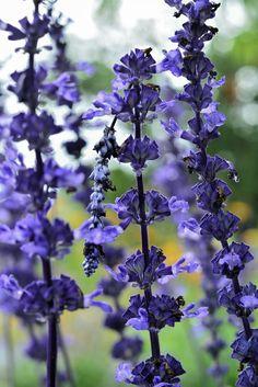 Blume lilablau