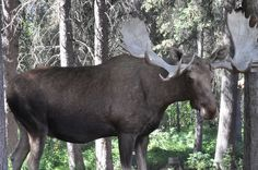 A male moose can reach heights of 8ft and can be a formidable opponent!