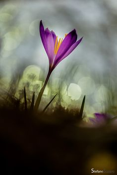 Superb Nature - wowtastic-nature: 💙 Crocus by stefano sudaro on. Little Flowers, Small Flowers, Pretty Flowers, Flora Flowers, Quelques Photos, Everything Is Possible, Watercolor Effects, Flower Pictures, Natural World