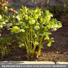 Hellebore        Among the first perennials to bloom, hellebores offer beautiful flowers and foliage that stays evergreen in all but the coldest Zoneszones. This tough drought-, deer-, and rabbit-resistant perennial loves shade, too!        Name: Helleborus selections        Size To 2 feet tall and 3 feet wide        Zones: 4-9        Plant it with: Epimedium, bleeding heart, or spring-blooming bulbs